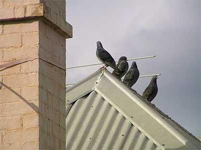 allontanamento volatili Roma: foto di piccioni