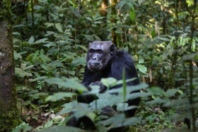 Scimpanzè in primo piano immerso nella foresta verdeggiante