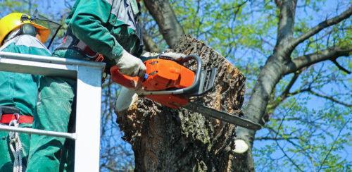 Abbattimento alberi alto fusto Roma: servizi senza stress