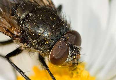 Disinfestazione mosche Roma: non lasciarti molestare da questi insetti. Noi li eliminiamo.