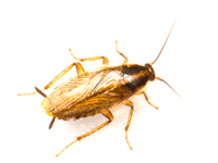 Blatta germanica
