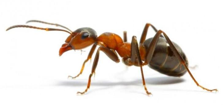 Disinfestazione formiche Roma