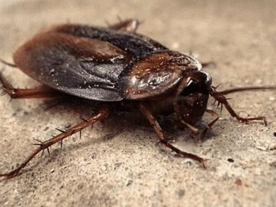 Disinfestazione blatte (scarafaggi)