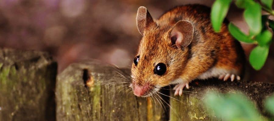 Cosa odiano i topi